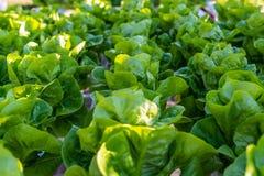 水耕的沙拉菜莴苣在水栽法系统农厂种植园 免版税库存照片