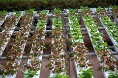 水耕的蔬菜 免版税库存照片