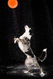 水色演播室,在黑暗的背景的博德牧羊犬与雨 库存图片
