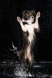 水色演播室,在黑暗的背景的博德牧羊犬与雨 库存照片