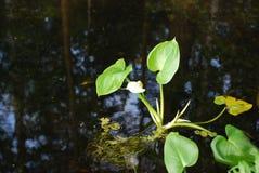 水芋属在水的沼泽地 库存图片