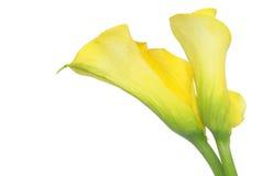 水芋属查出百合壮观的空白黄色 免版税库存照片