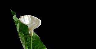 水芋属白色 图库摄影