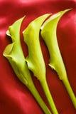 水芋属绿色百合三 免版税库存照片
