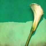 水芋属花照片减速火箭的样式白色 免版税图库摄影