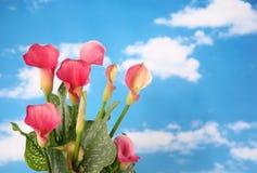 水芋属lillies 免版税库存图片