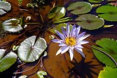 水花和睡莲叶在湄公河在唐Det附近在老挝 免版税库存图片