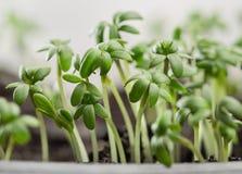 水芹、新鲜的新芽和年轻人叶子 图库摄影