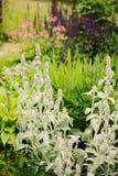 水苏属在有其他开花的多年生植物的花圃里种植的羊羔耳朵 免版税库存图片