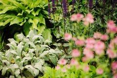水苏属在有其他开花的多年生植物的花圃里种植的羊羔耳朵 库存图片