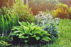 水苏属byzantina在有玉簪属植物和其他多年生植物的花圃里种植的羊羔耳朵在夏天从事园艺 库存图片