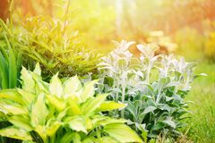 水苏属byzantina在有玉簪属植物的花圃里种植的羊羔耳朵 图库摄影