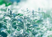 水苏属byzantina,羊羔`扣杆或羊毛制hedgenettle花卉夏天庭院背景 有蓬松天鹅绒光的bl装饰植物 库存照片