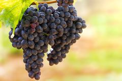水葡萄和滴  库存图片