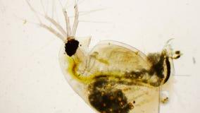 水蚤pulex或共同的水蚤在显微镜下 免版税库存照片