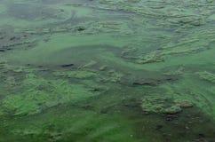 水表面上的绿藻类污染 库存照片