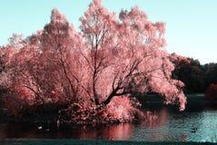 水表面作为镜子反射桃红色树 鸭子swi 库存图片