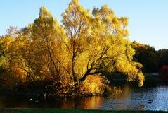 水表面作为镜子反射黄色树 鸭子s 图库摄影