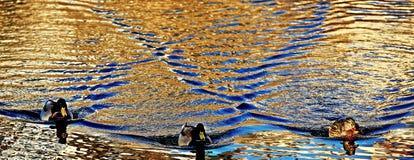 水表面和3只鸭子上的波浪 免版税库存照片