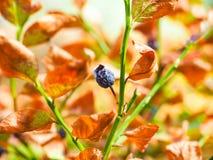 水被剥夺的蓝莓植物 免版税库存图片