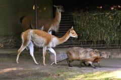 水豚和羊魄步行在绿草 库存照片
