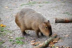 水豚水猪Hydrochoerus hydrochaeris Linnaeus 免版税库存图片