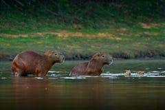 水豚,与两的家庭年轻,最大的老鼠在与晚上光的水中在日落,潘塔纳尔湿地,巴西期间 从na的野生生物场面 免版税库存照片