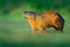 水豚, Hydrochoerus hydrochaeris,最大的老鼠在与晚上光的水中在日落,潘塔纳尔湿地,巴西期间 野生生物场面为 免版税库存照片