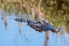 水面上美国短吻鳄的头 免版税图库摄影
