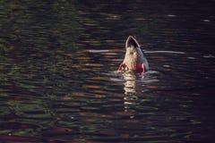 水面上鸭子的尾巴 免版税图库摄影