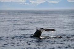 水面上Humback的尾标 免版税库存图片