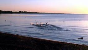 水鸟在活动中在密歇根湖 股票视频