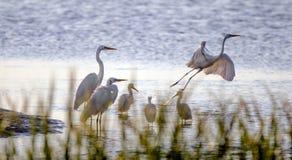 水鸟白鹭和苍鹭,希尔顿黑德岛 库存照片