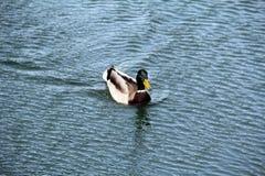 水鸟鸟在池塘 库存照片