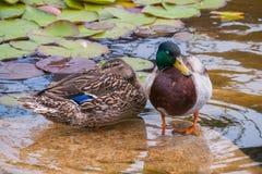 水鸟鸭子坐岩石在有绿色百合的一个透明装饰湖中间 库存照片