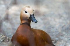 水鸟 与棕色全身羽毛的鸭子 库存图片