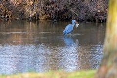 水鸟Ardea灰质趟过在水和传染性的鱼 库存图片