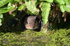 水鼠属terrestris田鼠水 库存照片