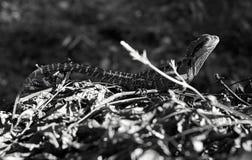 水龙Physignathus lesueurii - B&W 图库摄影