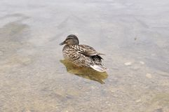 水,鸟,鸭子 在水下的鱼 库存照片