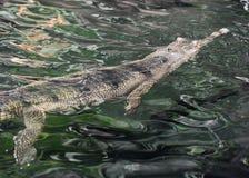 水` s表面上的Scaley Gavial鳄鱼 库存照片