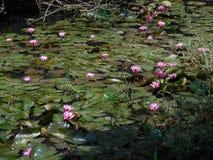 水lillies池塘  免版税库存照片