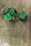 永世木头木材花绿色叶子变粉红色顶视图锦紫苏石头上升的紫色植物背景 免版税库存图片