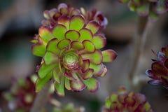 永世植物(拉特 永世) 免版税库存照片