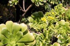 永世canariense海岛la palma工厂亚热带多汁植物 免版税库存照片