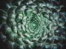永世tabulaeforme 平展多汁与短的绿色叶子和辐形玫瑰华饰 美好的多汁植物背景 库存照片