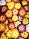 永恒或秸杆花,葡萄酒样式 免版税库存图片