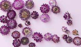 永恒花strawflower桃红色和紫罗兰色头状花序  免版税库存照片