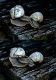 求爱蜗牛 免版税库存图片