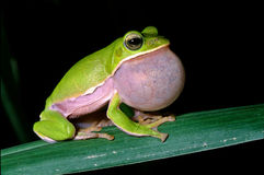 求爱青蛙结构树 库存图片